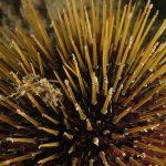 riccio femmina 49 150x150 Paracentrotus lividus, Riccio femmina