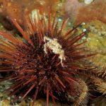 riccio femmina 55 150x150 Paracentrotus lividus, Riccio femmina