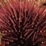 riccio femmina 57 150x150 Paracentrotus lividus, Riccio femmina