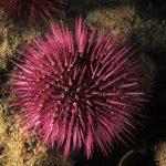riccio femmina 60 150x150 Paracentrotus lividus, Riccio femmina