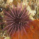 riccio femmina 62 150x150 Paracentrotus lividus, Riccio femmina