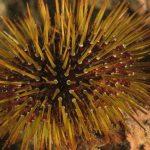 riccio femmina 64 150x150 Paracentrotus lividus, Riccio femmina