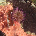riccio femmina 65 150x150 Paracentrotus lividus, Riccio femmina