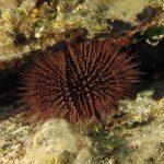 riccio femmina 67 150x150 Paracentrotus lividus, Riccio femmina