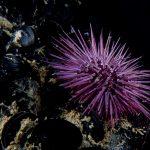 riccio femmina 70 150x150 Paracentrotus lividus, Riccio femmina