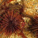 riccio femmina 72 150x150 Paracentrotus lividus, Riccio femmina