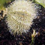riccio verde 02 150x150 Psammechinus microtuberculatus, Riccio verde