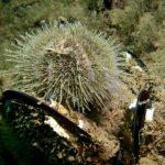 riccio verde 09 150x150 Psammechinus microtuberculatus, Riccio verde