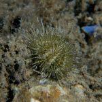 riccio verde 26 150x150 Psammechinus microtuberculatus, Riccio verde