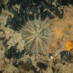 riccio verde 31 150x150 Psammechinus microtuberculatus, Riccio verde