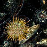 riccio verde 32 150x150 Psammechinus microtuberculatus, Riccio verde