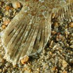 rombo di rena 48 150x150 Bothus podas   Pesce rombo di rena