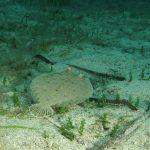 rombo di rena 71 150x150 Bothus podas   Pesce rombo di rena