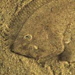 rombo liscio 07 a 150x150 Pesce rombo liscio
