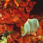 rosa di mare 02 150x150 Peysonnellia rubra, Alga rosa di mare rossa