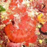 rosa di mare 04 150x150 Peysonnellia rubra, Alga rosa di mare rossa