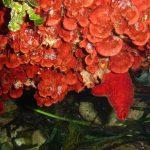 rosa di mare 05 150x150 Peysonnellia rubra, Alga rosa di mare rossa