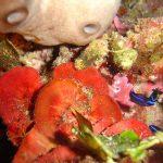 rosa di mare 06 150x150 Peysonnellia rubra, Alga rosa di mare rossa