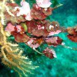 rosa di mare 07 150x150 Peysonnellia rubra, Alga rosa di mare rossa