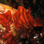 rosa di mare 08 150x150 Peysonnellia rubra, Alga rosa di mare rossa