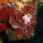 rosa di mare 14 150x150 Peysonnellia rubra, Alga rosa di mare rossa