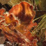 rosa di mare 18 150x150 Peysonnellia rubra, Alga rosa di mare rossa