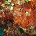rosa di mare 20 150x150 Peysonnellia rubra, Alga rosa di mare rossa