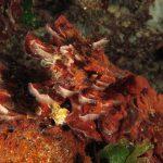 rosa di mare 21 150x150 Peysonnellia rubra, Alga rosa di mare rossa