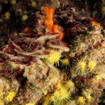 rosa di mare 22 150x150 Peysonnellia rubra, Alga rosa di mare rossa