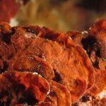 rosa di mare 23 150x150 Peysonnellia rubra, Alga rosa di mare rossa