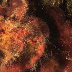 rosa di mare 27 150x150 Peysonnellia rubra, Alga rosa di mare rossa