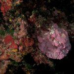 rosa di mare 30 150x150 Peysonnellia rubra, Alga rosa di mare rossa