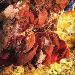 rosa di mare 33 150x150 Peysonnellia rubra, Alga rosa di mare rossa