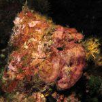 rosa di mare incrostante 05 150x150 Alga rosa di mare incrostante
