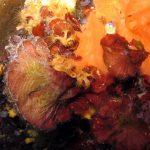 rosa di mare squamata 08 150x150 rosa di mare squamata