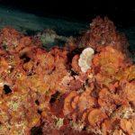 rosa dimare squamata 40 150x150 rosa di mare squamata