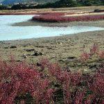 salicornia 01 150x150 Salicornia