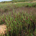salicornia 07 150x150 Salicornia