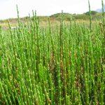 salicornia-09