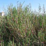salicornia 10 150x150 Salicornia