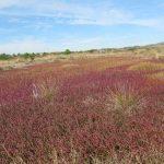 salicornia 12 150x150 Salicornia