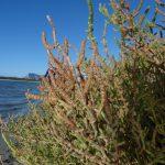 salicornia 15 150x150 Salicornia