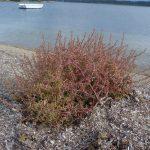 salicornia 16 150x150 Salicornia