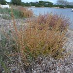 salicornia 17 150x150 Salicornia