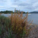 salicornia 20 150x150 Salicornia
