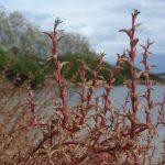 salicornia 22 150x150 Salicornia