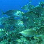 Sarpa salpa - Pesce salpa