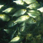 salpa 02 150x150 Sarpa salpa   Pesce salpa