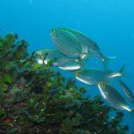 salpa 07 150x150 Sarpa salpa   Pesce salpa