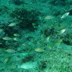 salpa 077 150x150 Sarpa salpa   Pesce salpa